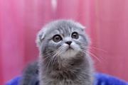 Породистые котята из профессионального питомника