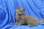 Котята Мейн кун из Германии - солиды ,  мраморные, полосатые !
