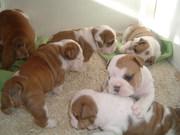 милые щенки английского бульдога