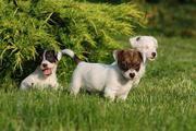 милые щенки Джек Рассел