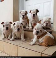 сладкие щенки английского бульдога