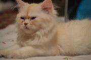 Персидские котята (породистые)   300 у.е.