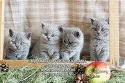 Британские элитные котята с доставкой